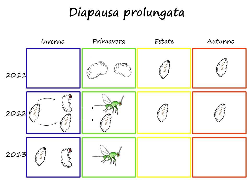 Ciclo biologico del parassitoide