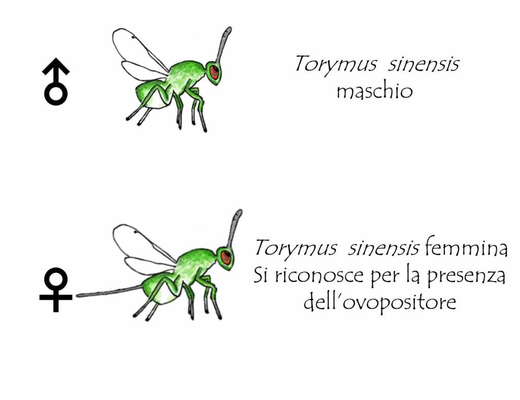 Torymus sinensis maschio e femmina