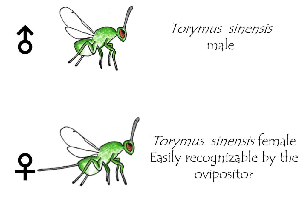 Torymus sinensis